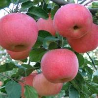 大量收購蘋果