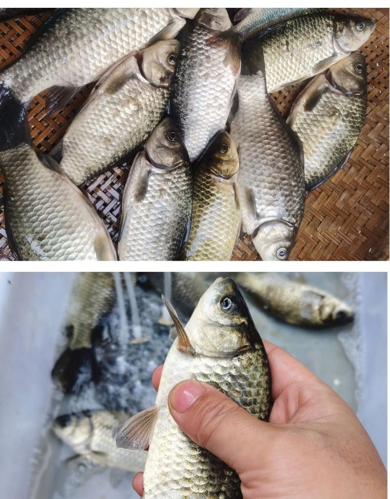 新鮮野生鯽魚1Kg