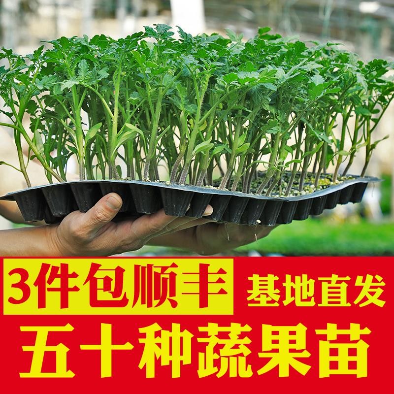 蔬菜苗幼苗菜苗番茄苗西红柿苗西瓜苗秧茄子小辣椒圣女果甜瓜种苗