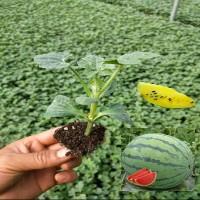 冰糖子8424嫁接西瓜苗秧天山早佳黑美人小兰甜瓜麒麟种子大棚种植