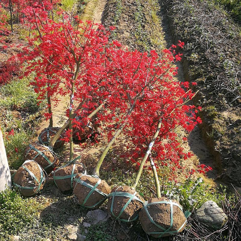 红枫树苗直径